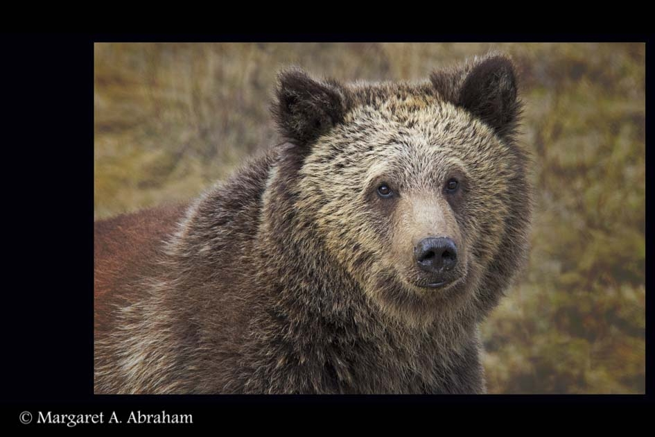 Grizzly-Bear-in-spring