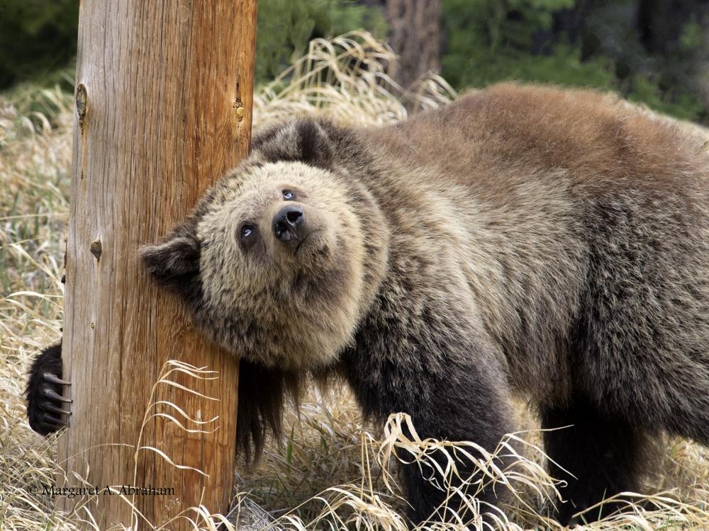 GrizzlyBear12-423