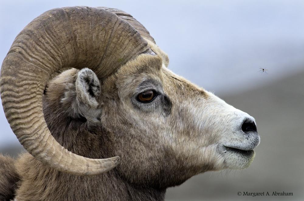 SheepMosquito12-435