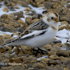 Snow Geese and Snow Buntings