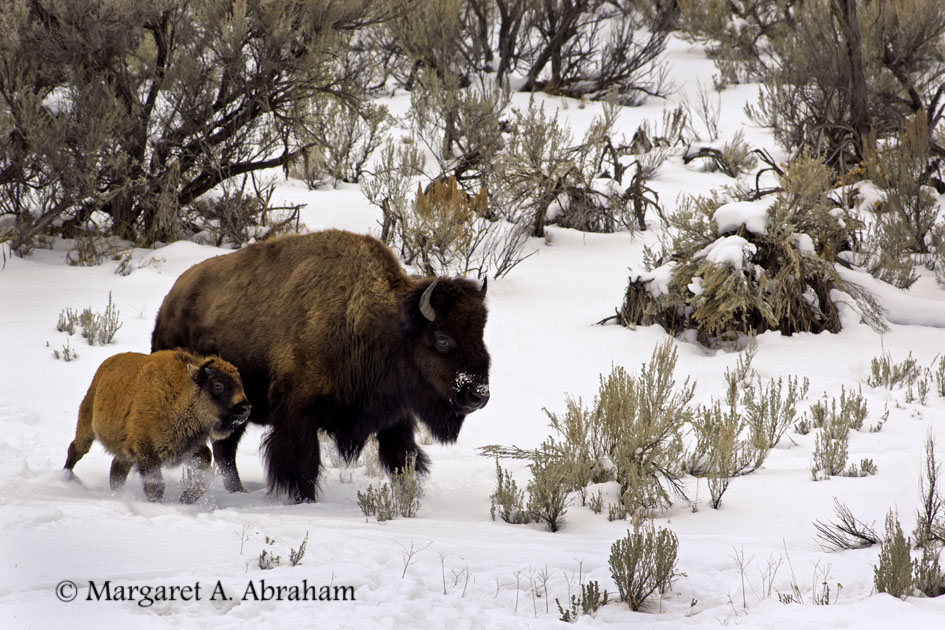 A Bison calf running to keep up with it's mother