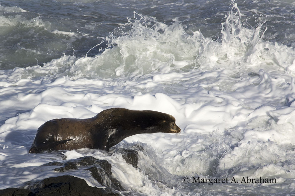 Photographing a Sea Lion poised for the perfect wave