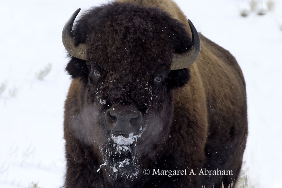 Bison walking with eyes on the photographer