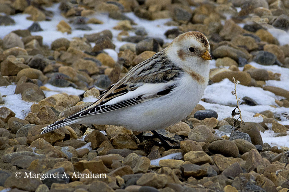 Gravel roads and snow are good for Snow Bunting camouflage