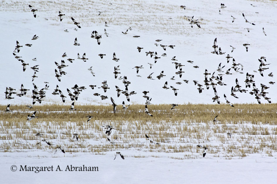 Snow Buntings lift-off in unison