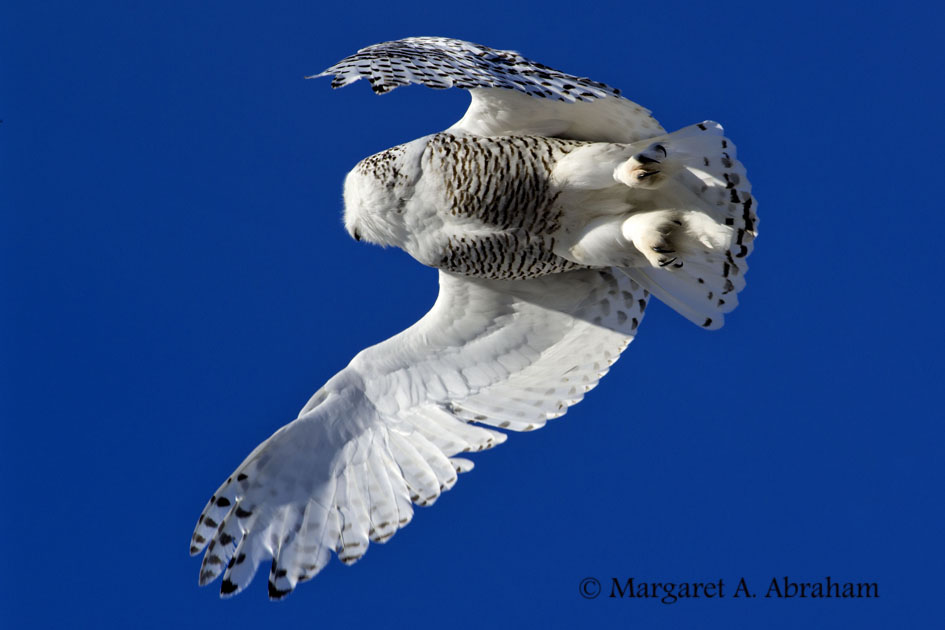 Snowy Owl -  feathered toes