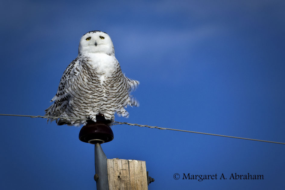 Snowy Owl - female