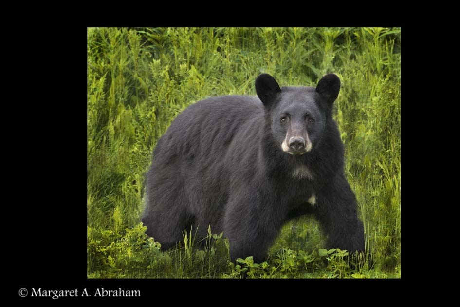 A young Black Bear watches while being photographed