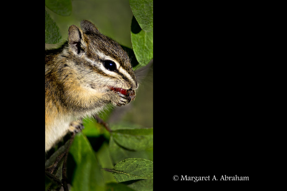 A Chipmunk  scurries through the bush looking for berries.
