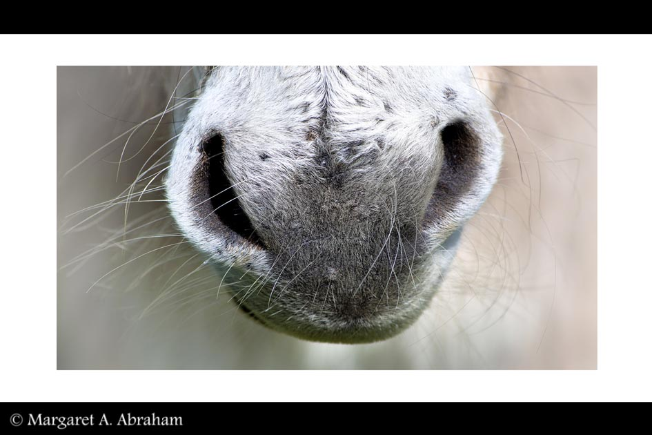 Close up view of a donkeys hairy nose.