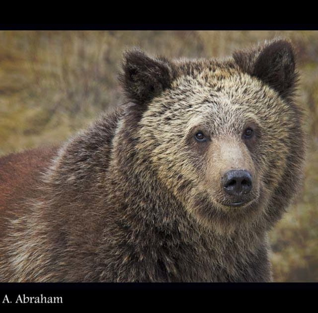 A Grizzly Bear near Grand Cache raises it's head after having a drink from a ditch.