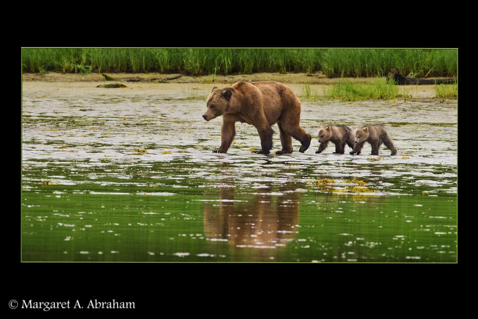 A mother Grizzly Bear brings her newborn cubs out from the bush for a walk.