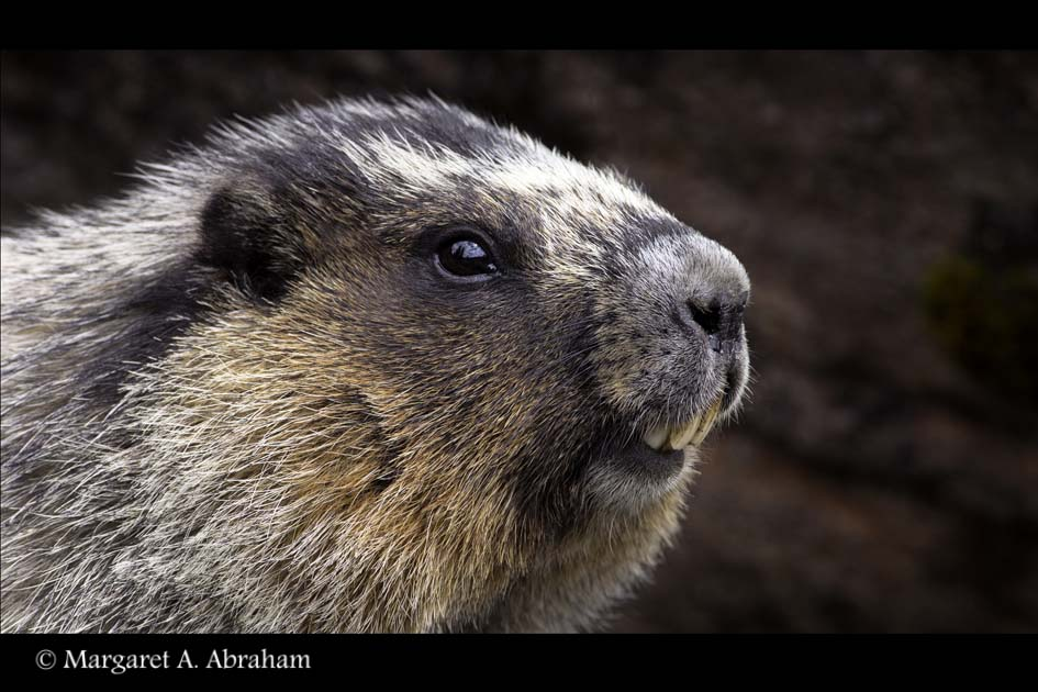 Photograph of a Hoary Marmot found in the Canadian Rockies.
