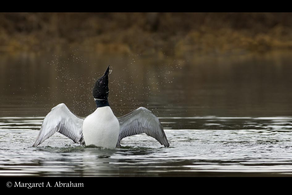 A Common Loon shakes water of itself.