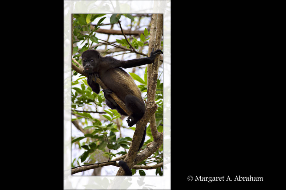 A Howler Monkey stops to watch while being photographed.