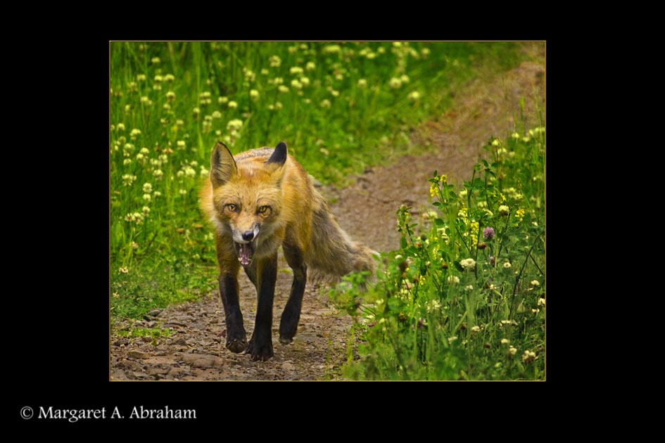 Red Fox walking along a trail after feeding on a Ground Squirrel.