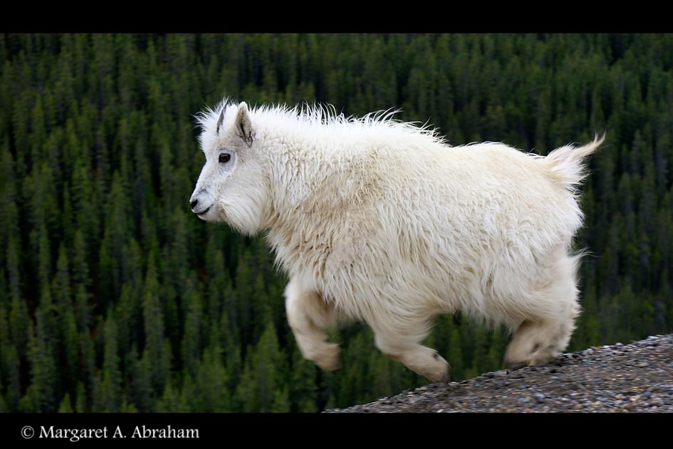 Young Mountain Goat runs along a ridge.
