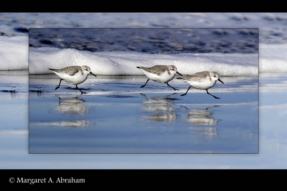 Sanderlings running away from an incoming wave.