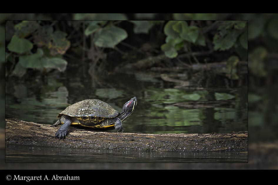 A  Turtle in Costa Rica enjoys some time in the sun