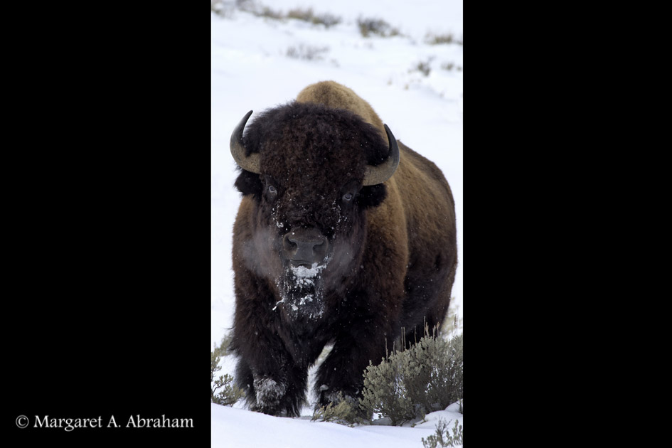 Yellowstone Bison walking through the snow on a cold winter day.