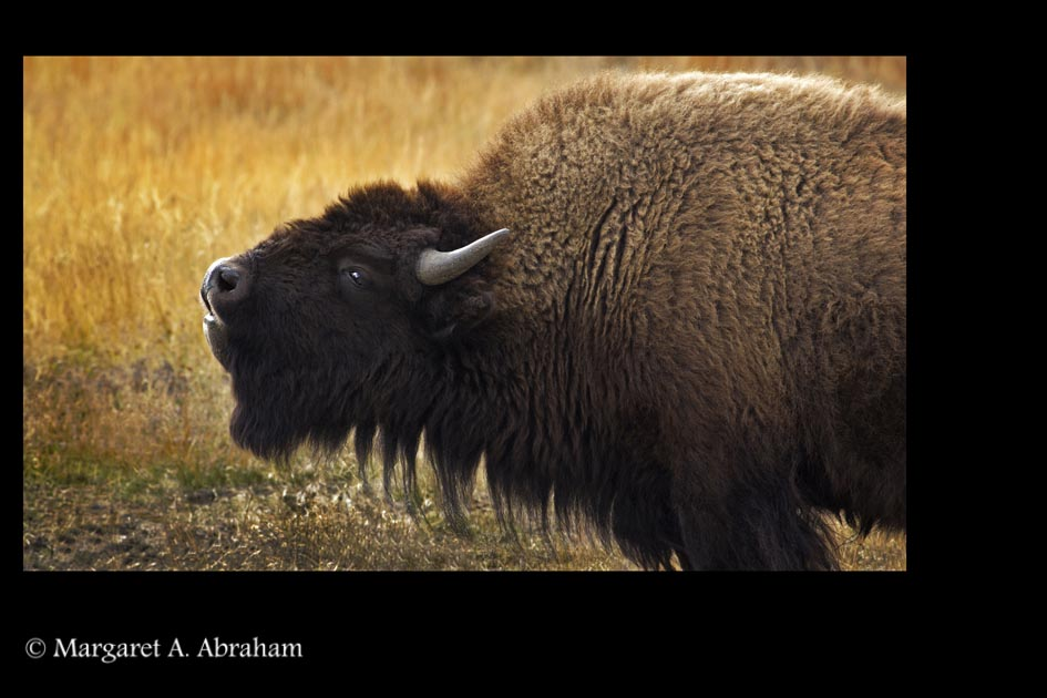 A Bison warns off another Bison that was getting too close.